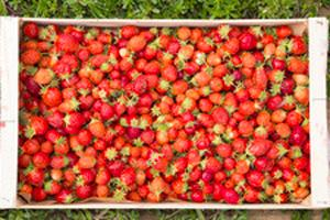 panier de fraises
