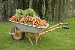 brouette de carottes