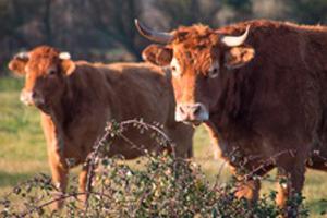 vaches dans un champs